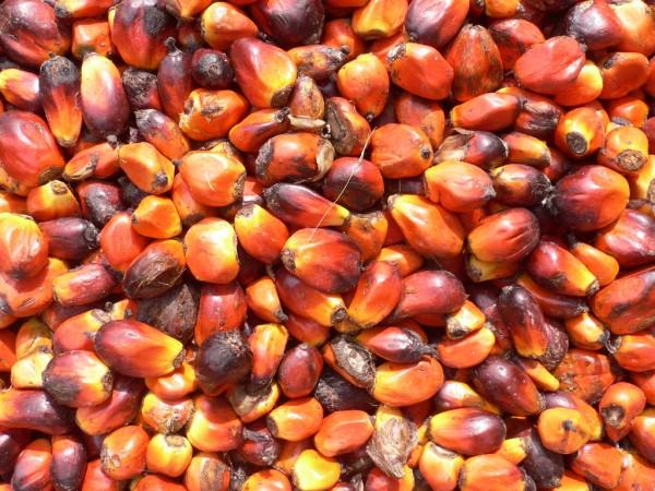 Huile de palme - Les noix du palmier
